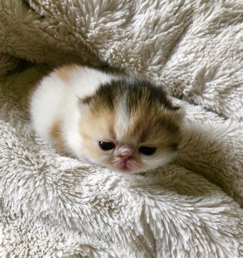 Exotic Shorthair Cats For Sale | Miami, FL #266877