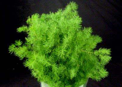 Garten Pflanzen Bern by S Asparagus Miriocladus Berner Blumenb 246 Rsen