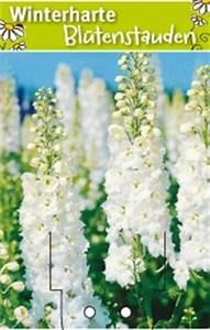 Weiß Blühende Stauden : delphinium pacific 39 excalibur weiss 39 rittersporn winterharte stauden f r lebendige g rten ~ Markanthonyermac.com Haus und Dekorationen