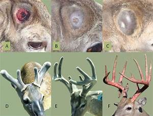 Antler Growth Cycle