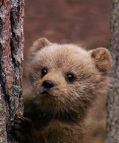 Wildlife Bear Brown Animal Animals Bears Cub