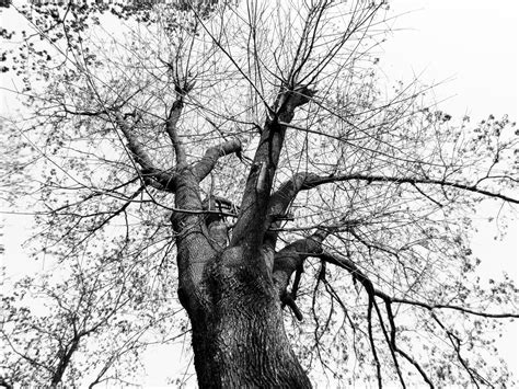 Free Images : tree nature branch black and white wood