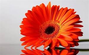wallpapers: Gerbera Flowers Wallpapers