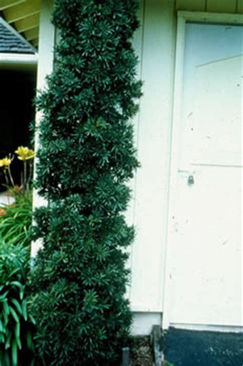 podocarpus macrophyllus maki