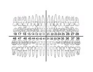 Primary Teeth Chart for Dental