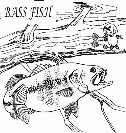 Coloring Fish Bass Pages Fishing Hungry Printable