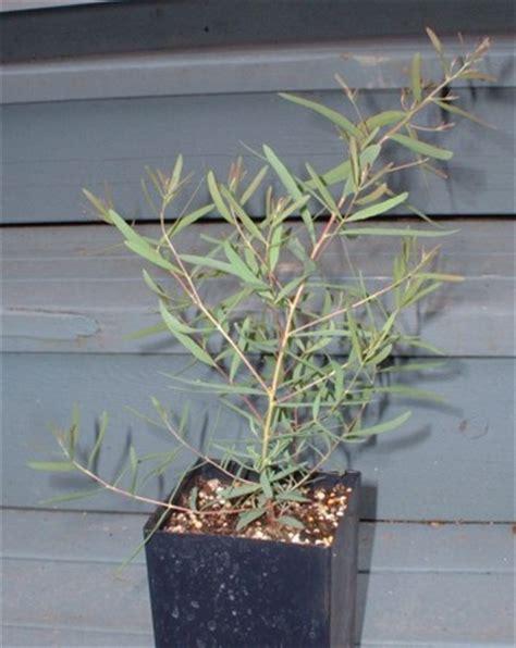 eucalyptus in a pot photos of eucalyptus nicholii