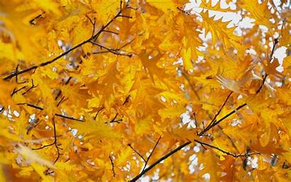 Yellow Background Leaves Autumn Leave Wallpapers Desktop