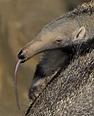 Giant Anteater   San Diego Zoo Animals & Plants