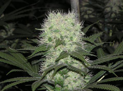 Marijuana Backgrounds Marijuana Wallpapers 183