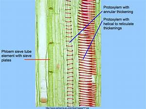 Topic 9 1 Transport In The Xylem Of Plants