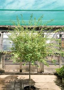 Dappled Willow Tree - Tree Top Nursery & Landscape Inc