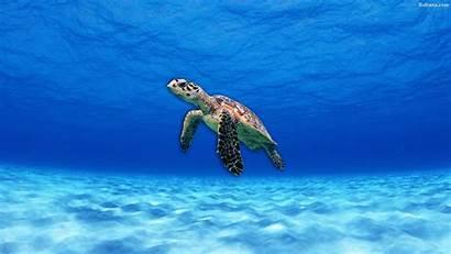Turtle Sea Wallpapers Turtles Desktop Background Baltana
