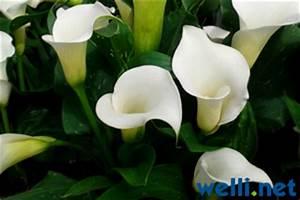 Calla Pflanze Giftig : pflanzen und wellensittiche buchstabe z wellensittich portal ~ Frokenaadalensverden.com Haus und Dekorationen
