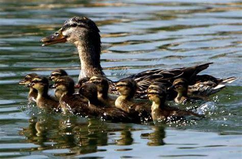 cuisiner un canard sauvage bébés animaux image 16 sur 19 20minutes fr