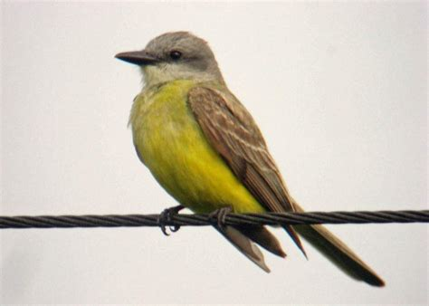 Burung ini sendiri masuk dalam kategori unggas, sama seperti ayam dan juga bebek, hanya saja burung dapat terbang dengan bebas. Gambar: Burung