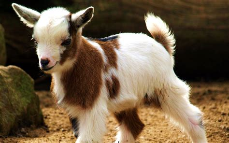 Sweet Animals Wallpaper - baby goat wallpapers baby animals
