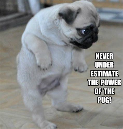 Funny Pug Memes - 183 best images about funny pugs on pinterest