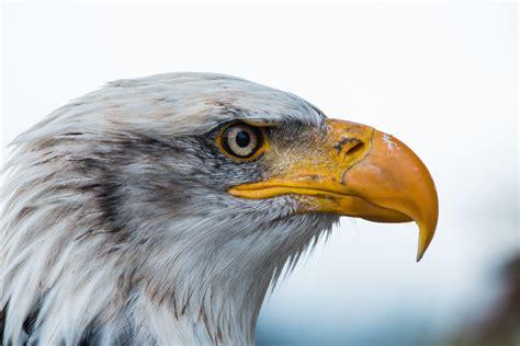 Free Images : nature, wing, wildlife, beak, usa, hawk ...
