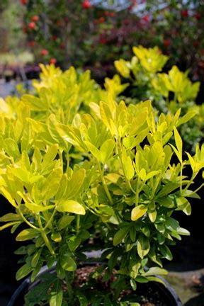 chn plants choisya ternata sundance
