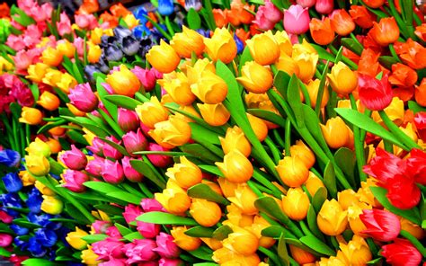 tulips images tulips hd wallpaper colorful tulips hd wallpapers