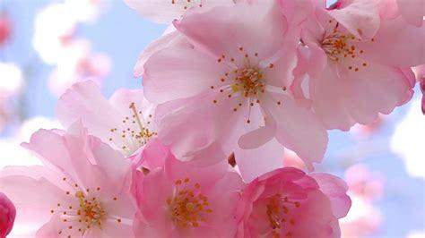 Cherry Blossom Image by Cherry Blossom Flowers Fan 36809722 Fanpop