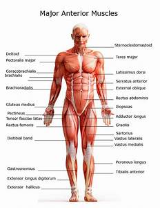 Diagram Of Upper Arm Muscles With Labels