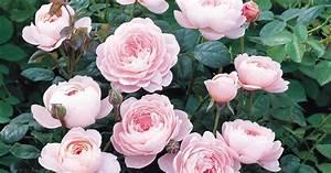 Rose Mein Schöner Garten : englische rose queen of sweden informationen tipps ~ Lizthompson.info Haus und Dekorationen