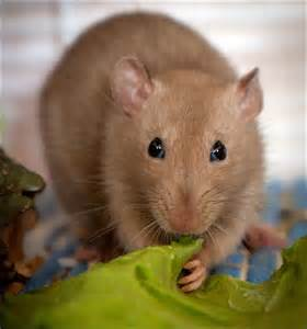 Brown Rat Pet