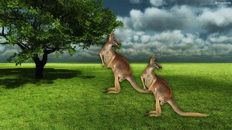 Kangaroo Images Hd How To Draw Color A Kangaroo Step By