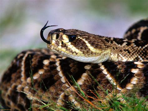 The Mexican West Coast Rattlesnake