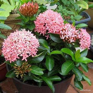 MY PLANT FINDER | Plant Guide: Ixora 'Dwarf Pink'