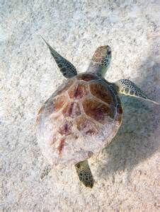 Floating Green Sea Turtle