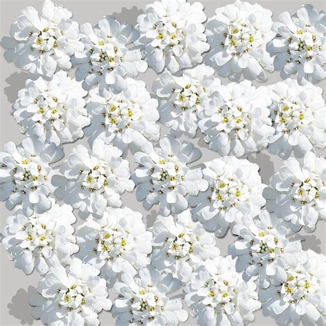 background bunga putih  background check