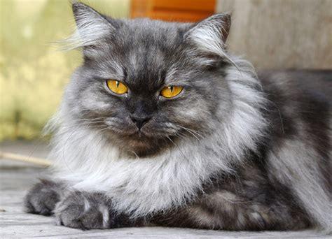 persian  original feline nobility