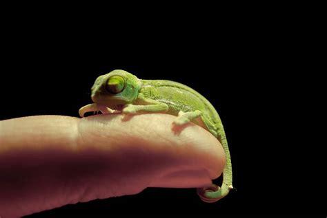 cuidados  mantenimiento de camaleones parte  tiendanimal