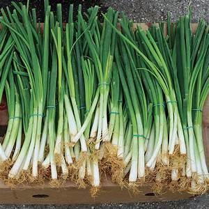 Parade Green Onion Seeds