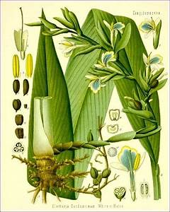 What Does A Cardamom Plant Look Like