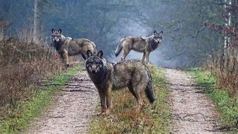 le loupe de bureau le retour du loup en allemagne le du bureau de berlin