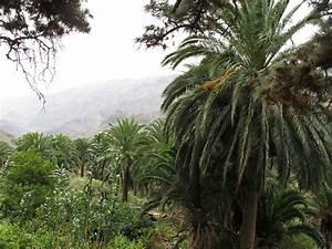 Phoenix Canariensis Entretien : dattier des canaries phoenix canariensis planet coconut ~ Melissatoandfro.com Idées de Décoration