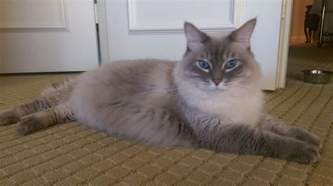 Ragdoll Mix by Handsome Ragdoll Mix Looking For In Fort Lauderdale