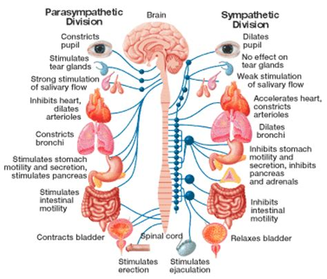 parathyroid glands located my point of view endocrine system