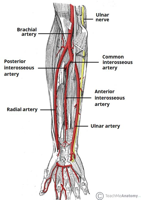 Diagram Of Arm Vessel by Arterial Supply To The Limb Subclavian Brachial