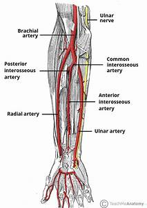Arterial Supply To The Upper Limb - Subclavian - Brachial