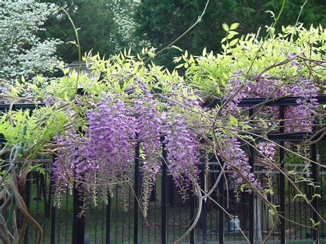 planting a wisteria knee deep in bloomers wisteria to plant or not to plant