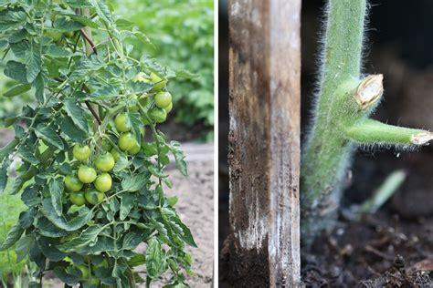 tomaten im topf tomaten im topf und k 252 bel wie viel erde substrat sie brauchen tomaten de