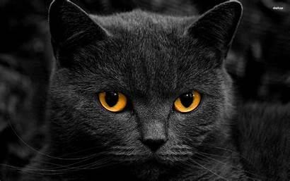 Cat Wallpapers Cats Desktop Warrior Background Animal