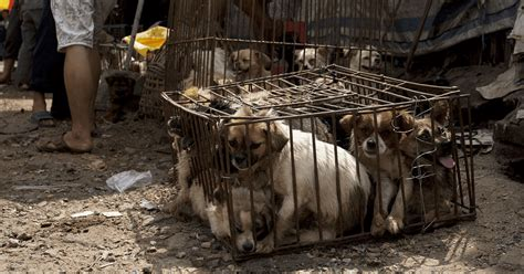 China Has Finally Dog Meat From The Infamous Yulin