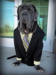 Halloween Dog Costumes Mastiff