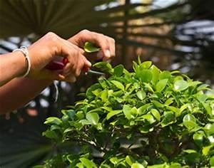 Baum Pflanzen Anleitung : bonsai schneiden anleitung und tipps ~ Frokenaadalensverden.com Haus und Dekorationen